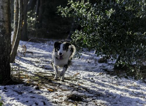 Bounce Bounce. winter, dog, snow, play, will, wwwpawsforaphotocouk. buy photo