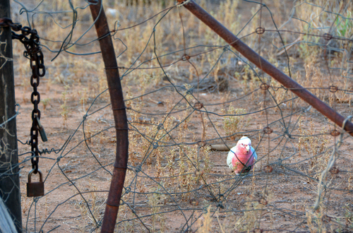 The Gate Keeper. old, grass, gate, nt, galah, alicesprings, dreied. buy photo