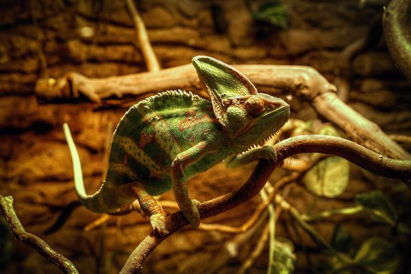 chameleon. detail, animals, chameleon, aussig, terarium. buy photo