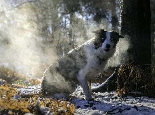 What!!!!!. winter, dog, pet, snow, woods, collie, play, border, will, wwwpawsforaphotocouk. buy photo