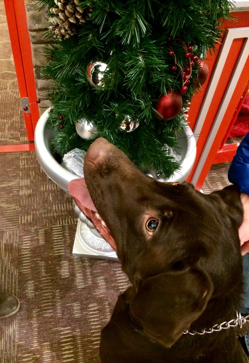 Yippee. I'm very excited 🐾. santa, dog, pets, love, animals, happy, labs, edenprairiecenter. buy photo