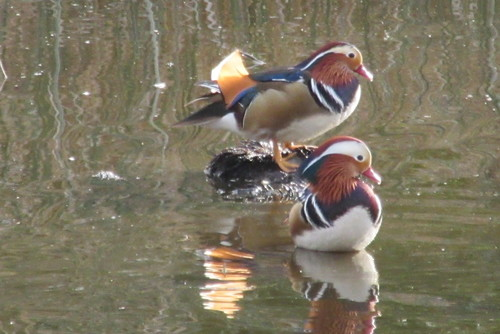 Mandarin Ducks. mandarinduck, ducks, elkgrovecreektrail, elkgrovecreek, elkgrove. buy photo