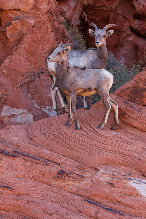 Posing Perfection. valleyoffire, nature, outdoors, photography, desert, nevada, fineart, lamb, ram, mojavedesert, desertbighornsheep, bighornsheep, ewe, valleyoffirestatepark, wildlifephotography, jmpphotography, jamesmarvinphelps, jamesmarvinphelpsphotography. buy photo