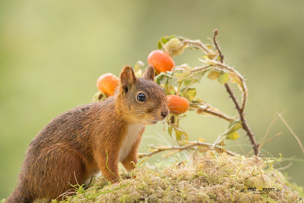 squirrel brier triangle. christmas, red, plant, cute, nature, look, animal, closeup, clouds, mammal, rodent, stand, squirrel, funny, bright, top, geert, brier, weggen, ilobsterit, hardeko. buy photo