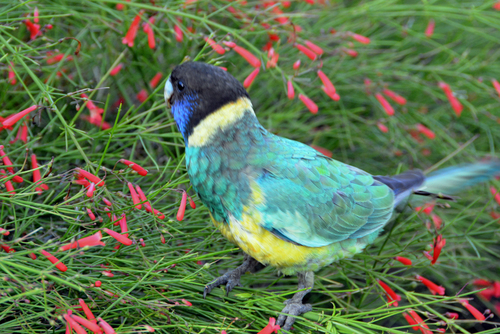 Port Lincoln Parrot 3. buy photo