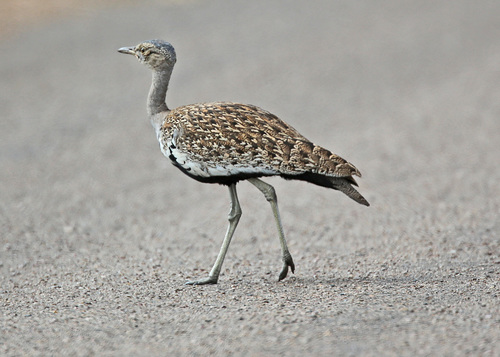 Red-crested Korhaan on the roadway. ilobsterit. buy photo