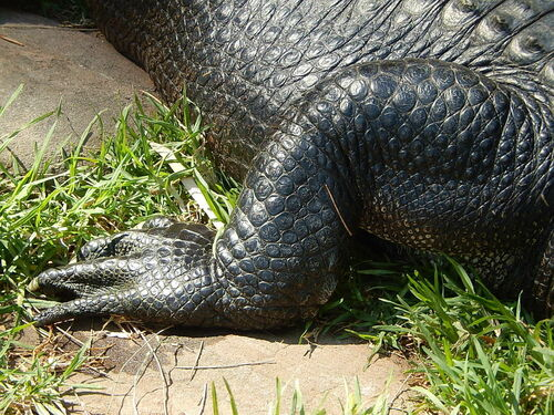 Hind Leg of an Alligator. foot, zoo, shiny, reptile, leg, alligator, scales, adelaide, limb, claws, basking. buy photo