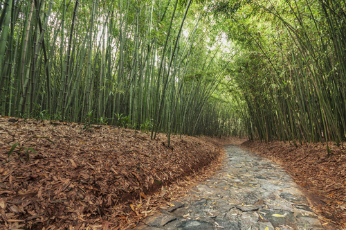Path In Bamboo Grove. china, autumn, landscape, asian, leaf, grove, path, bamboo, zen, eastern, 竹, hefei, ilobsterit. buy photo