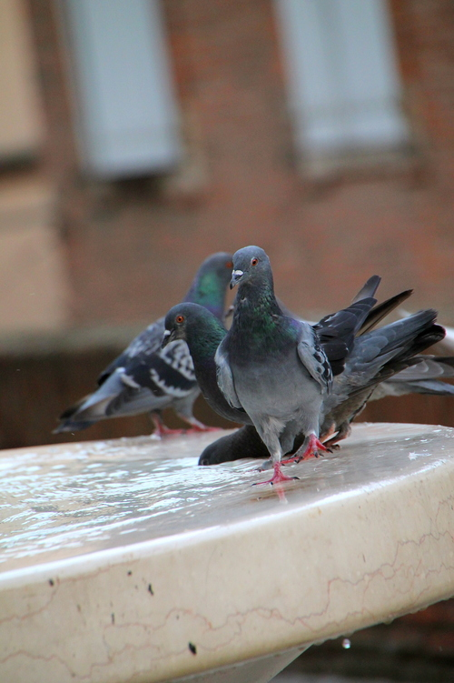 BIRDS IN ALBI 9-8-2014 12-41-25 AM. travel, flowers, windows, cemeteries, food, paris, france, color, brick, castles, feet, cemetery, vegetables, birds, rose, les, seine, fruit, cheese, architecture, bronze, photography, death, this, moss, hands, europe, wine, metro, eiffeltower, obsession, tourist, musee, luggage, desserts, cobblestone, invalides, sunflowers, vin, ate, provence, toulouse, notre, dame, pastries, tombstones, montparnasse, loire, loirevalley, blanc, wandering, sculptures, rodin, jardins, toulouselautrec, claudel, archdetriomphe, tulleries, gardins, iloveparis, tarnriver, camiile, iphoneography, instagram. buy photo