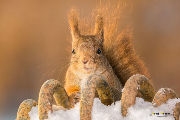 squirrel winter curves. winter, red, sun, snow, cute, ice, nature, look, animal, closeup, mammal, rodent, stand, squirrel, funny, bright, top, geert, weggen, ilobsterit, hardeko. buy photo