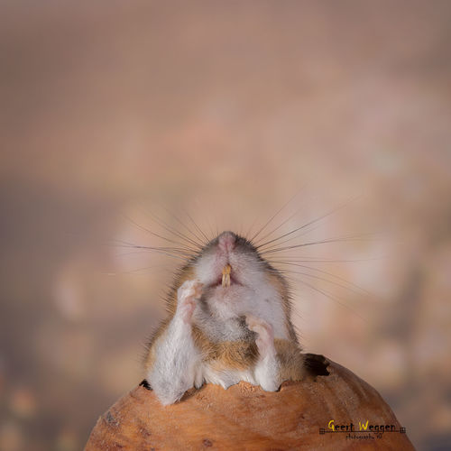 the break out. red, cute, nature, look, animal, closeup, mouse, mammal, rodent, bright, teeth, geert, weggen, ilobsterit, hardeko. buy photo