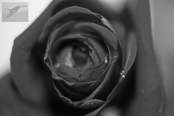 The Cry of a Rose. white, black, flower, macro, love, water, rose, closeup, sadness, miniature, dew, cry, waterdrops, blacknwhite. buy photo