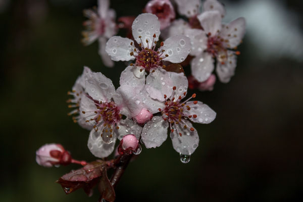Cherry flowers in the rain (Explored 06/03/2015 - thank you!!). park, pink, flowers, plant, tree, rain, gardens, cherry, spring, branch, colours, dof, blossom, bokeh, outdoor, blossoms, depthoffield, explore, greece, macedonia, harmony, raindrops, fields, cherryblossom, buds, thessaloníki, makedoniathraki, ilobsterit. buy photo