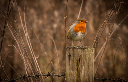 Bixworth county park. bird, robin, countryside, britain, ilobsterit. buy photo