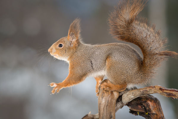 reach out. red, sun, tree, cute, nature, look, animal, closeup, backlight, mammal, rodent, stand, squirrel, funny, bright, top, profile, trunk, geert, weggen, ilobsterit, hardeko. buy photo