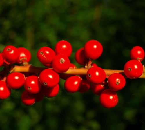 Red. county, uk, red, wild, england, nature, outdoors, berry, stream, tour, berries, open, place, northwest, bright, country, north, visit, location, lancashire, eat, area, preston, sunlit, northern, update, attraction, lancs, ©2014tonyworrall, welovethenorth. buy photo