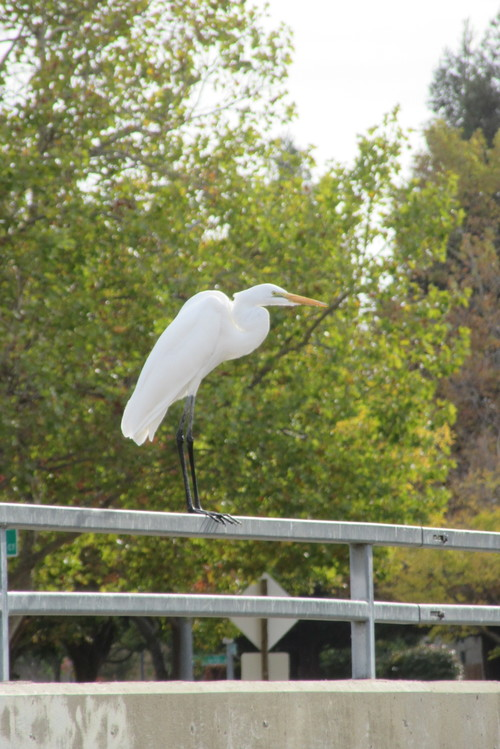 Elk Grove Creek Trail. egret, elkgrovecreektrail, elkgrovecreek, elkgrove. buy photo