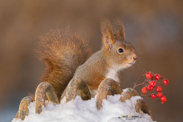 squirrel and winter berries. christmas, winter, red, sun, snow, cute, ice, nature, look, animal, closeup, mammal, rodent, stand, squirrel, funny, berries, bright, top, geert, weggen, ilobsterit, hardeko. buy photo