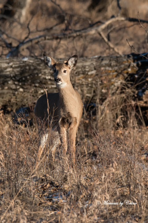 Young White-tailed in setting sun. trees, wild, calgary, grass, forest, wildlife, young, ears, deer, markings, whitetaileddeer. buy photo