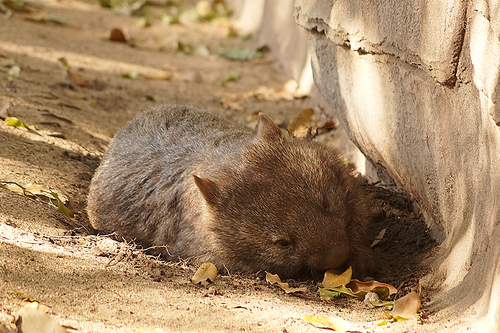 Wombat. wombat, australiazoo. buy photo