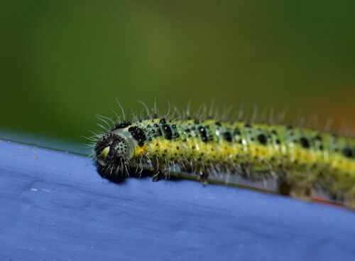 Caterpillar 3. macro, nature, caterpillar. buy photo