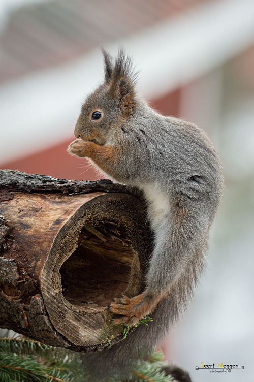 squirrel treasure place. wood, red, tree, cute, eye, home, nature, look, animal, closeup, mammal, nose, rodent, stand, squirrel, funny, view, hole, watch, stump, trunk, acrobat, hollow, hold, geert, weggen, ilobsterit, hardeko. buy photo