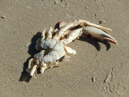 Crab Details. dead, sand, shell, crab, claw, remains, bits, cracked, semaphore. buy photo
