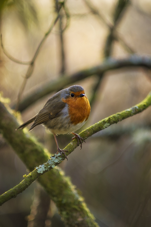 Robin. robin, bird, wildlife, forestfarm, fujifilm, xt1, fuji, fujinon, 56mm, f12, ilobsterit. buy photo