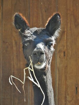 Chewing Grass. alpaca, grass, zoo, young, goat, ears, adelaide, chewing, inquisitive. buy photo
