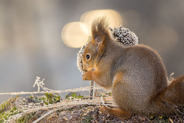 squirrel lights behind. winter, light, red, sun, cute, ice, nature, look, grass, animal, yellow, closeup, mouth, mammal, rodent, stand, squirrel, top, profile, geert, thistlehead, weggen, ilobsterit, hardeko. buy photo