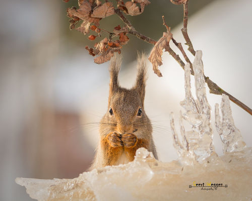 icy look. winter, red, snow, cute, ice, nature, look, animal, closeup, backlight, mammal, rodent, stand, squirrel, funny, branch, berries, top, icicles, geert, weggen, ilobsterit, hardeko. buy photo