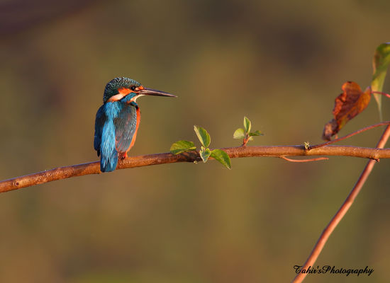 Common Kingfisher. wild, bird, beautiful, beauty, birds, wildlife, birding, kingfisher, wilderness, birder, tahir, naturephotography, naturelover, commonkingfisher, wildbird, popularimage, beautyofnature, birdswatcher, birdsphoto, wildlifeofpakistan, birdslover, naturesphotography, buyphotography, birdsphotography, birdsimage, birdslovers, birdsphotographer, birdsimages, tahirabbas, tahirabbasawan, birdssphotography, birdshqimages, mostsellingimage, eursiankingfisher. buy photo
