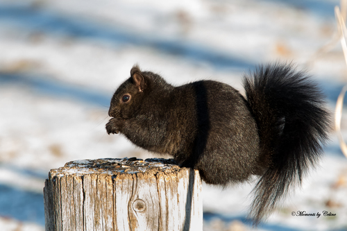 Having a snack. park, wild, snow, black, nature, animals, squirrel, post, wildlife, tail, seeds, blacksquirrel, ilobsterit. buy photo