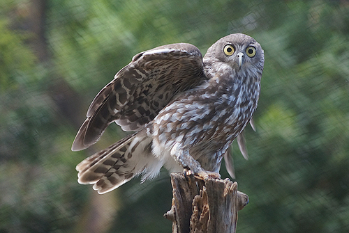Barking Owl. bird, zoo, raptor, owl, australiazoo, barkingowl, naturethroughthelens. buy photo